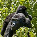 Mountain Gorilla With Infant  by Brian Kamprath