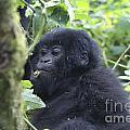 Mountain Gorillas by Ruth Hofshi
