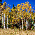 Mountain Grasses Autumn Aspens In Deep Blue Sky by James BO  Insogna