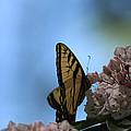 Mountain Larual Butterfly by Debra     Vatalaro