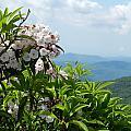 Mountain Laurel by Deborah Ferree