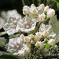 Mountain Laurel by Lili Feinstein