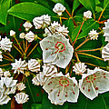 Mountain Laurel-maine by Ruth Hager