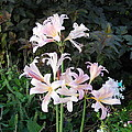 Mountain Lillies by Coleen Harty