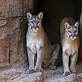 Mountain Lion 2 by Arterra Picture Library