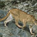 Mountain Lion Crossing Rocky Terrain by Tui De Roy