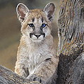 Mountain Lion Cub by Dave Welling