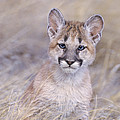 Mountain Lion Cub In Dry Grass by Dave Welling