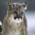 Mountain Lion Cub In Snow Montana by Tim Fitzharris