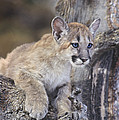 Mountain Lion Cub On Tree Branch by Dave Welling