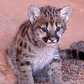 Mountain Lion Cub by Sandra Bronstein