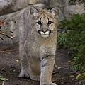 Mountain Lion Cub Walking by San Diego Zoo