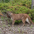Mountain Lion by Jack Nevitt