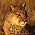 Mountain Lion Montana by Tom Vezo