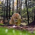 Mountain Lion Stalking by Dan Friend