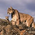 Mountain Lions Felis Concolor by Ron Sanford