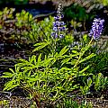 Mountain Lupine by Gary Holmes