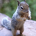 Mountain Squirrel 2 by Marilyn Hunt