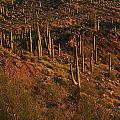 Mountainside Of Cacti by Geoffrey Bolte