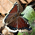 Mourning Cloak by David Armstrong
