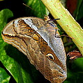 Mournful Owl Butterfly by Amy McDaniel