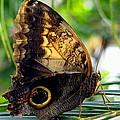 Mournful Owl Butterfly In Sunlight by Amy McDaniel