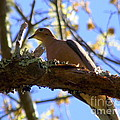 Mourning Dove by CapeScapes Fine Art Photography