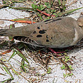 Mourning Dove by Doris Potter