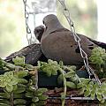 Mourning Dove Feeding Baby Dove by Jussta Jussta