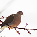Mourning Dove In Snow Glow by Linda L Martin
