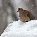 Mourning Dove In Snow by Karen Adams