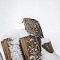 Mourning Dove In Snow by Leslie Banks