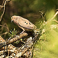 Mourning Dove In The Evening by Theo OConnor