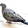 Mourning Dove by Jay Milo