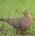 Mourning Dove by Jeanne Kay Juhos