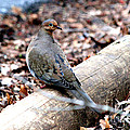 Mourning Dove by Kathy  White