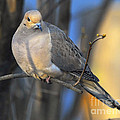 Mourning Dove On Limb by Timothy Flanigan
