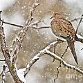 Mourning Dove Pictures 68 by World Wildlife Photography