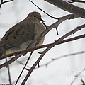 Mourning Dove Resting by Linda L Martin