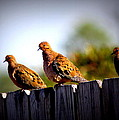 Mourning Doves On Fence by Travis Truelove
