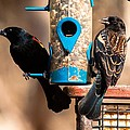 Mr. And Mrs. Red Winged Blackbird by Robert L Jackson