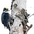 Mr. Black-bscked Woodpecker by Cheryl Baxter