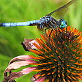Mr. Blue Dasher by Amy Perry
