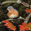 Mr Bluebird by Mim White