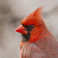 Mr Cardinal Portrait by Mircea Costina Photography
