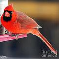 Mr. Cardinal by Rennae Christman