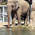 Mr. Elephant Sipping Water by Jillyin Calhoun