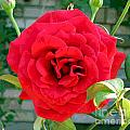 Mr Lincoln Rose by Alys Caviness-Gober