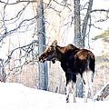 Mr. Moose by Cheryl Baxter
