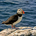 Mr. Puffin by Michael Pickett